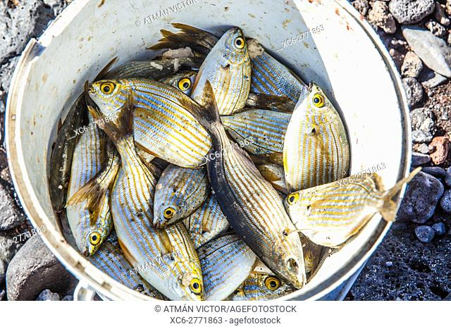 white bucket half-full of sea fishes from Tenerife island
