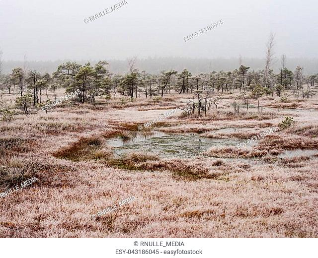Pine Trees in Field of Kemeri moor in Latvia on a Cold Winter Morning with some Frost on them