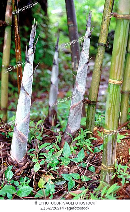 Bamboo shoots. Family: Poaceae. New shoots sprout in the monsoon. These shoots grow extremely fast, about 6 inches in a single day