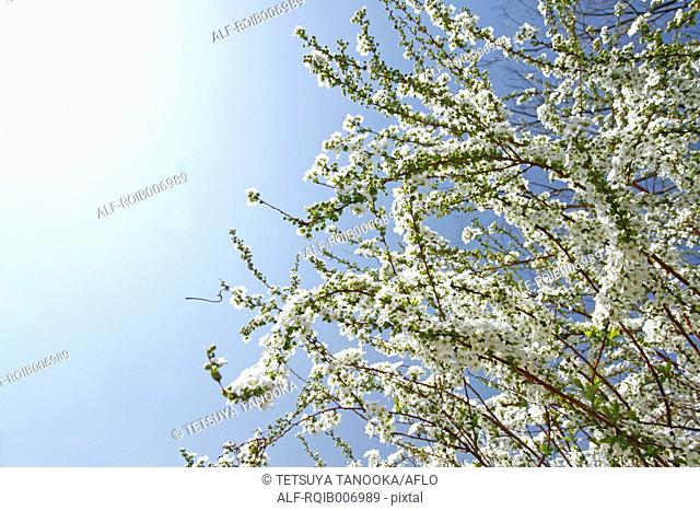 Thunberg Meadowsweet