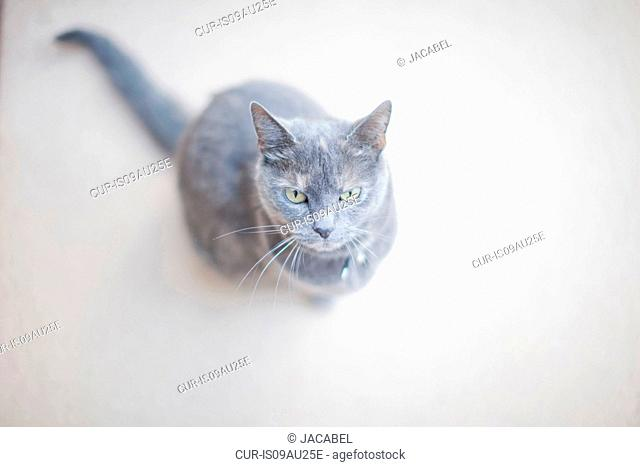 Portrait of grey cat, elevated view