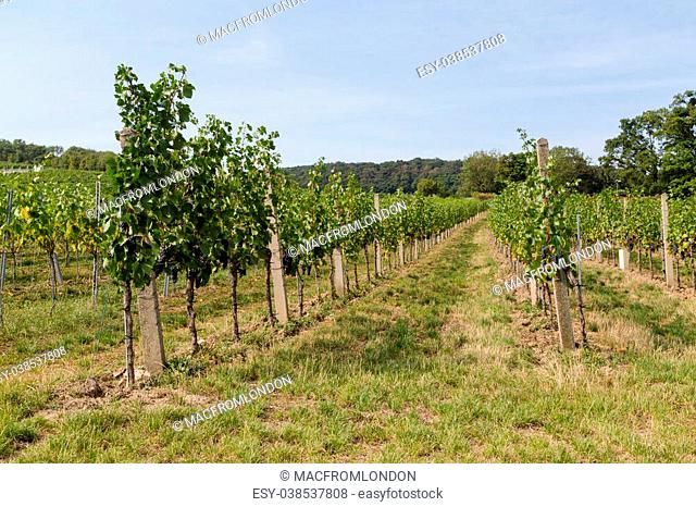 Wine Grape Plantations at a Vineyard during the day