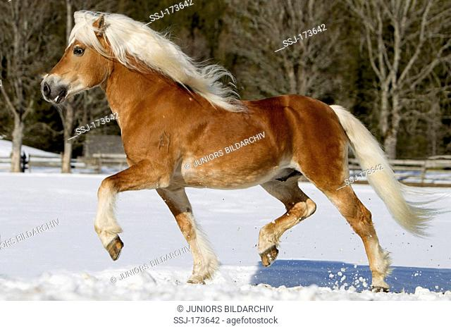 Haflinger Horse. The stallion Atlas trotting on a snowy meadow