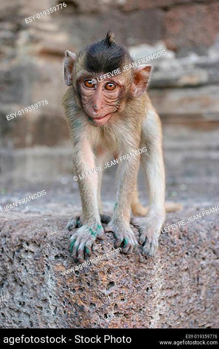 juvenile monkey lopburi thailand