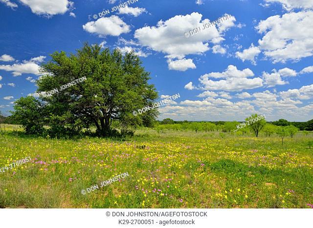 Wildflowers- wild phlox and evening primrose along County Road 104 , Castell, Mason County, Texas, USA