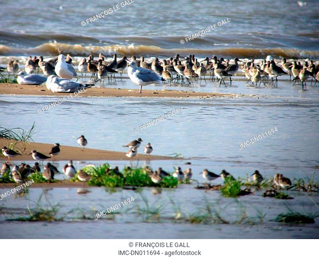Common ringed plover, dunlin, european herring gull and black-tailed godwit