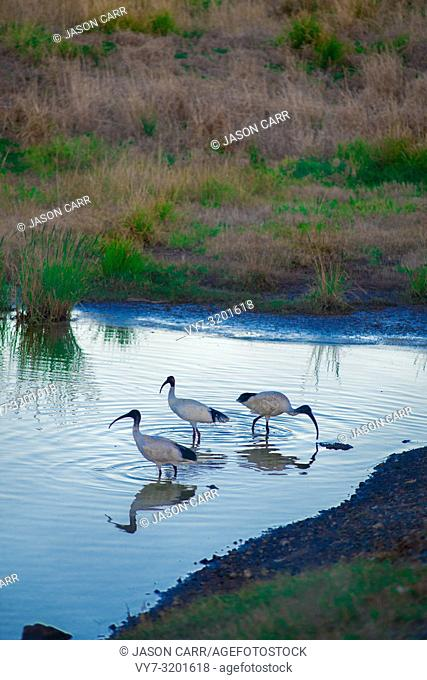 Australian birds looking for food in the pond around Brisbane, Australia. Australia is a continent located in the south part of the earth