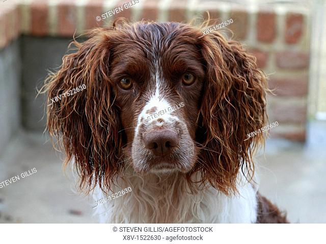 Head shot of Springer Spaniel gun dog in kennel