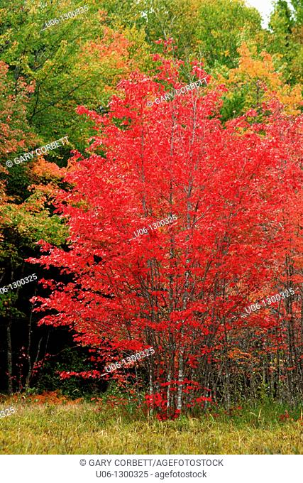 a maple tree in autumn red color in north america