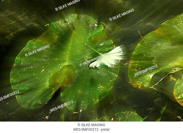 Waterlilly and Gingko leaf, close-up