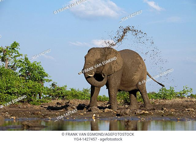 African Elephant Loxodonta africana  Vulnerable species   Elephant waterhole mudsplash   Mashatu Game Reserve  Tuli block, Botswana  November 2010