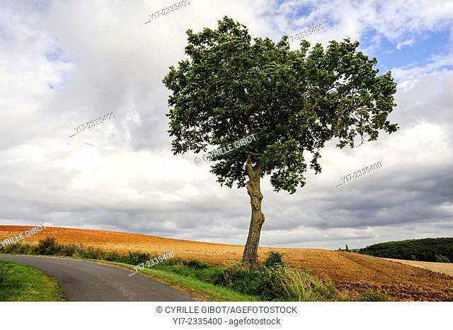 Lone tree along rural road and fields, Indre-et-Loire, Centre, France