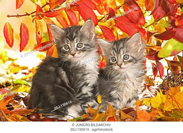 two Maine Coon cats - kittens sitting in autumn foliage