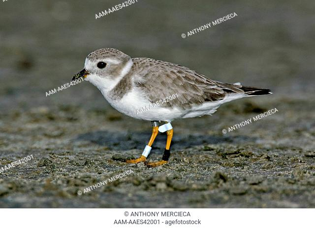 piping Plover Well decorated