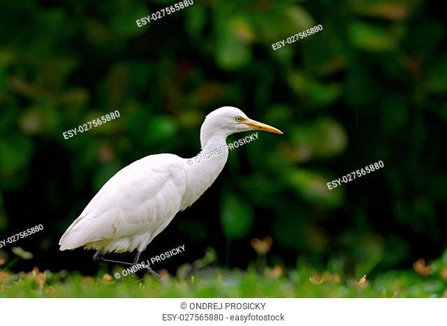 White heron in green vegetation, Bundala National Park, Sri Lanka