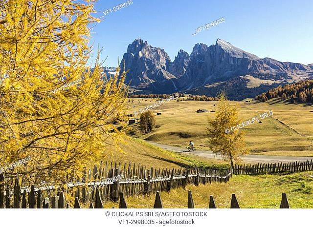 Yellow larch tree with Sassolungo and Sassopiatto in background, Alpe di Siusi/Seiser Alm, Dolomites, province of Bolzano, South Tyrol, Italy