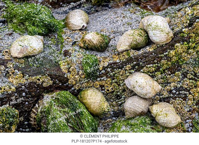 Dog whelks / dogwhelks, Atlantic dogwinkles (Nucella lapillus / Buccinum filosa) feeding on barnacles on rock in tidal rockpool