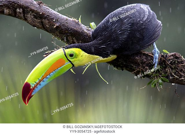 Keel-billed Toucan in the rain - La Laguna del Lagarto Lodge - Boca Tapada, San Carlos, Costa Rica