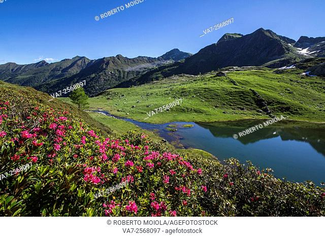 Rhododendrons and lakes Porcile Tartano Valley Orobie Alps Lombardy Italy Europe
