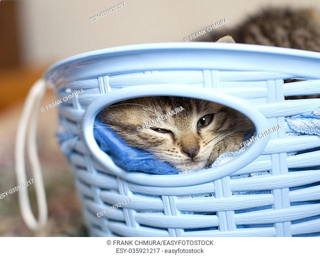 Kitten Lying in a Blue Basket Outdoor