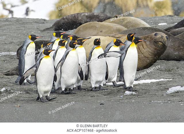 King Penguin, Aptenodytes patagonicus with large elephant seal, Mirounga angustirostris in the back ground