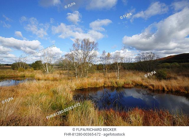 Raised bog habitat with birch and willow trees, Cors Caron, Ceredigion, Wales, october