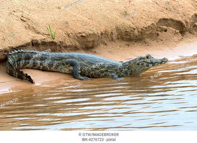 Yacare Caiman (Caiman yacare) resting on a riverbank, Cuiaba river, Pantanal, Brazil