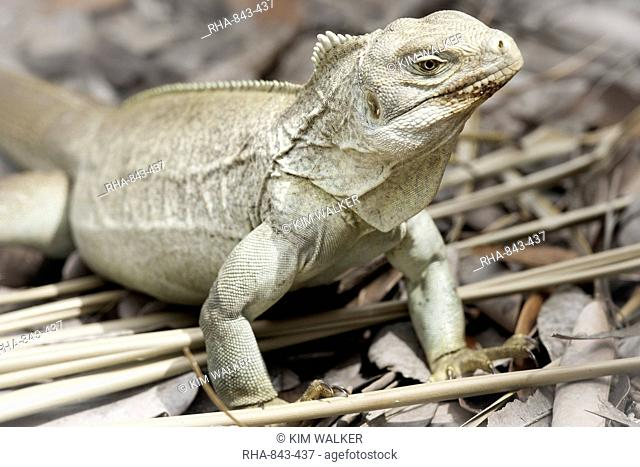 Rock Iguana endemic to the country, Iguana Island, Providenciales, Turks and Caicos Islands, West Indies, Caribbean, Central America