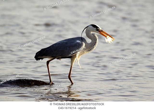 Grey Heron Ardea cinerea - The heron uses the back of the unconcerned hippopotamus Hippopotamus amphibius as a base for hunting fish in the lake  Sunset Dam