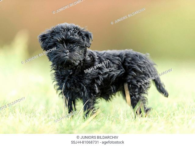 Monkey Terrier. Puppy standing on a meadow. Germany