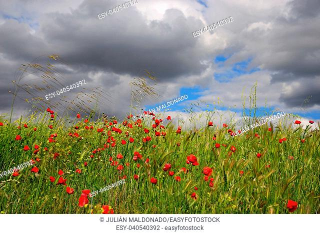 Barley and Poppies in spring in Viso del Marques, Ciudad Real, Spain