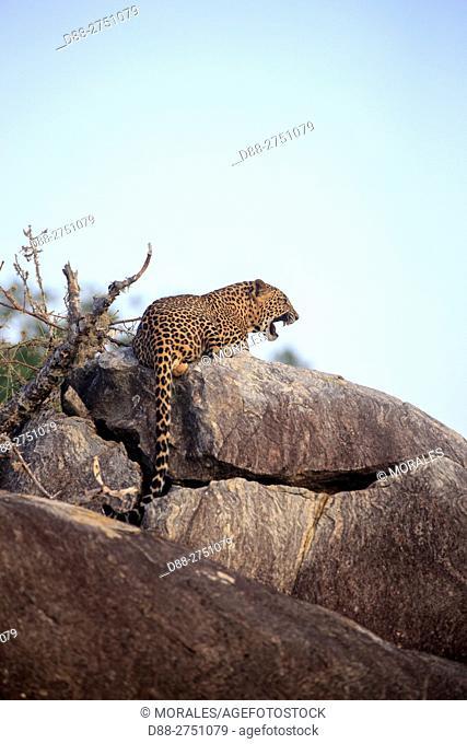 Sri Lanka, Yala national patk, Sri Lankan Leopard Panthera pardus kotiya), walking on rocks