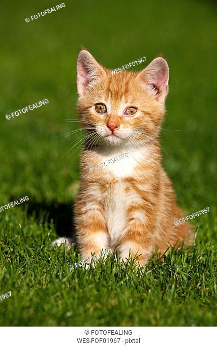 Germany, Bavaria, Ginger kitten sitting in grass, portrait