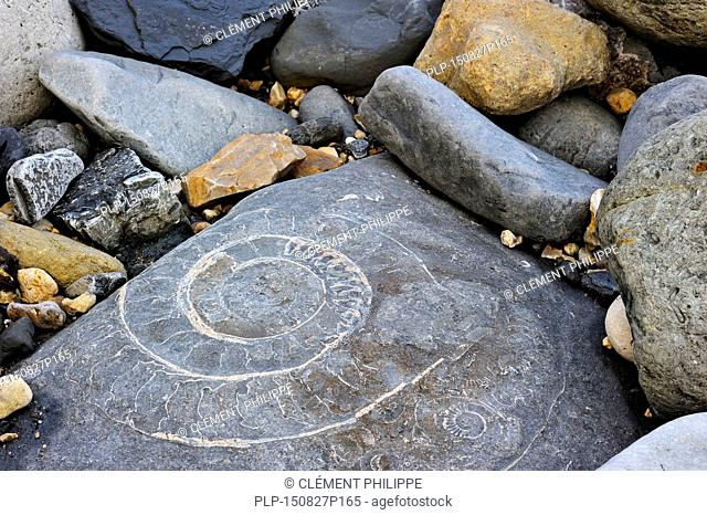 Large ammonite fossil embedded in rock on beach at Pinhay Bay near Lyme Regis along the Jurassic Coast, Dorset, southern England, UK