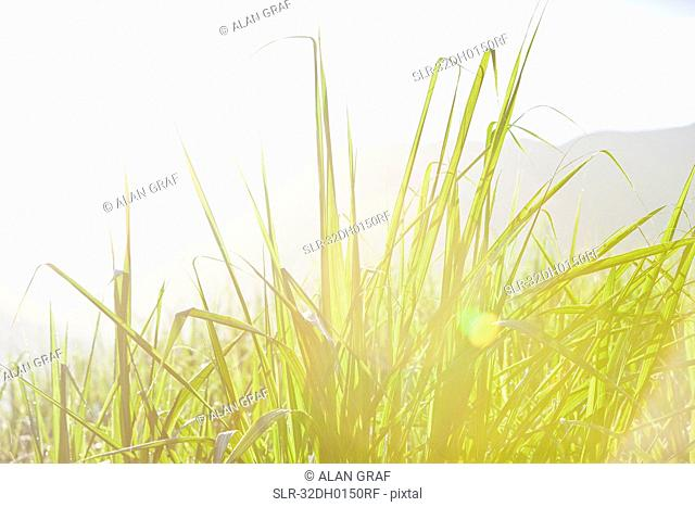 Close up of sugar cane plants