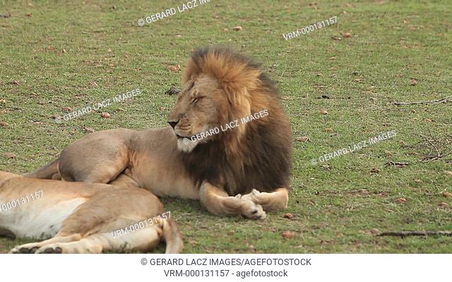 African Lion, panthera leo, Female laying down and Male Yawning, Masai Mara Park in Kenya, Real Time