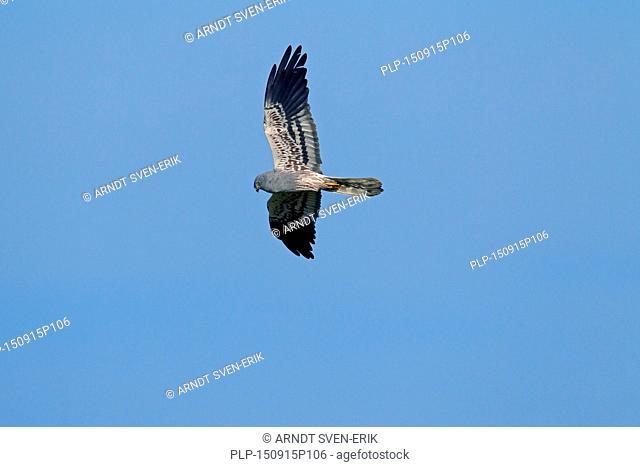 Montagu's harrier (Circus pygargus), male in flight against blue sky