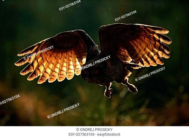 Flying Eurasian Eagle Owl with open wings in forest habitat