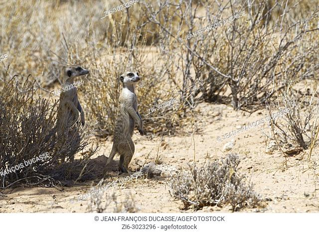 Meerkats (Suricata suricatta), adults looking out at the burrow entrance, alert, Kgalagadi Transfrontier Park, Northern Cape, South Africa, Africa