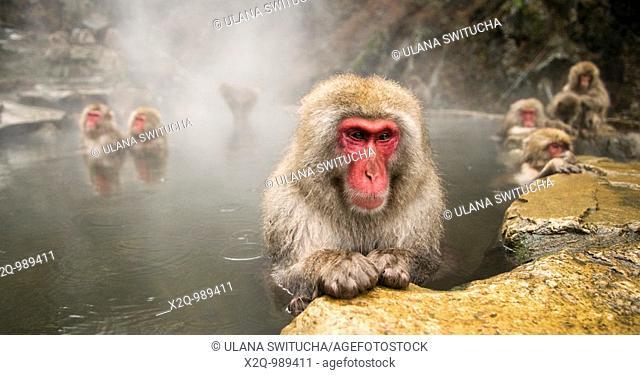 Japanese Macaque Macaca fuscata snow monkey Nagano Japan