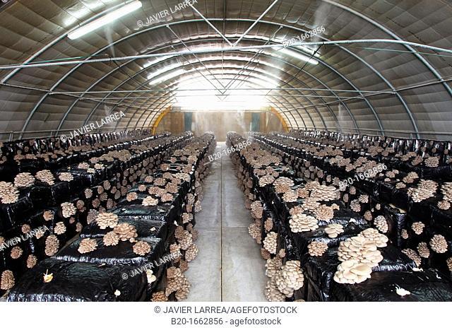 Pleurotus ostreatus, Oyster mushrooms cultivation, Agri-Food, Ayecue Fresh, Grupo Riberebro, Autol, La Rioja, Spain