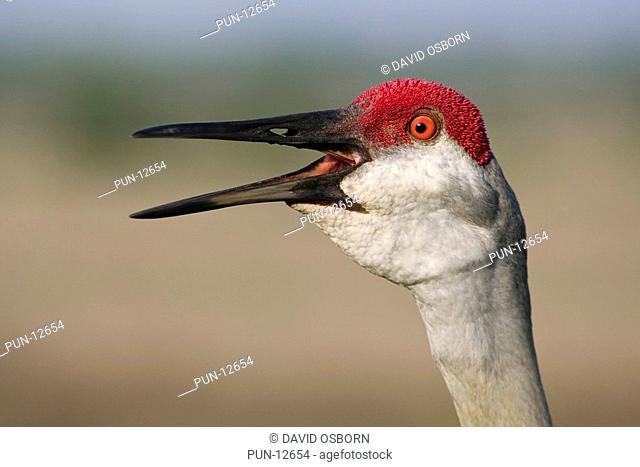 A facial close up of an adult Sandhill Crane calling