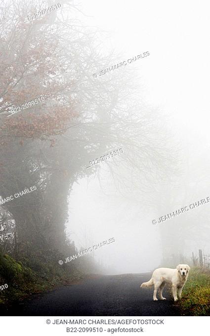 Landscape fog, a golden retriever dog, La Bessière, Campuac, North Aveyron, Midi-Pyrénées, France