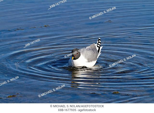 An adult Sabine's Gull Xema sabini in melt water pool in the Svalbard Archipelago, Norway