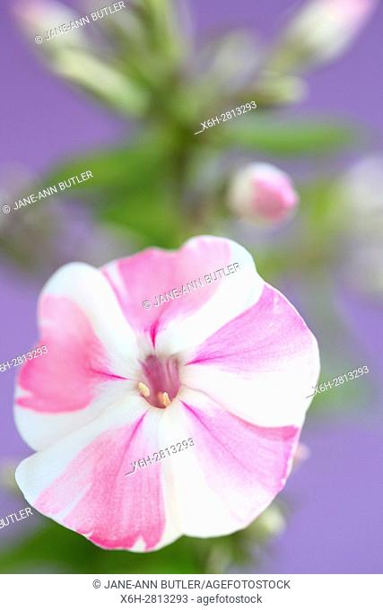 pink and white candy-striped phlox flower still life