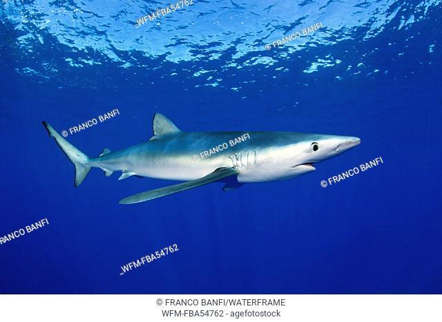 Blue Shark, Prionace glauca, Pico Island, Azores, Portugal