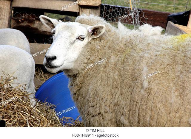 Welsh Lleyn sheep