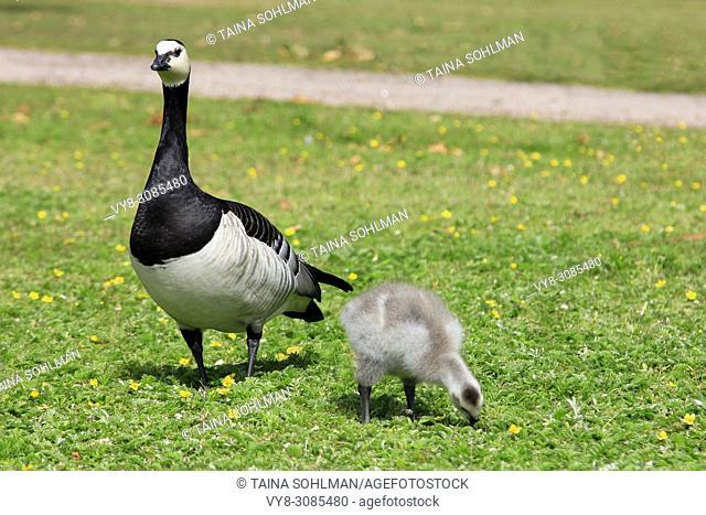 Barnacle geese, Branta leucopsis, adult bird keeps an eye on chick feeding on grass