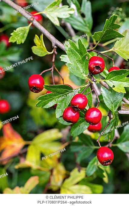 Common hawthorn / single-seeded hawthorn (Crataegus monogyna) close up of red berries / pomes and leaves