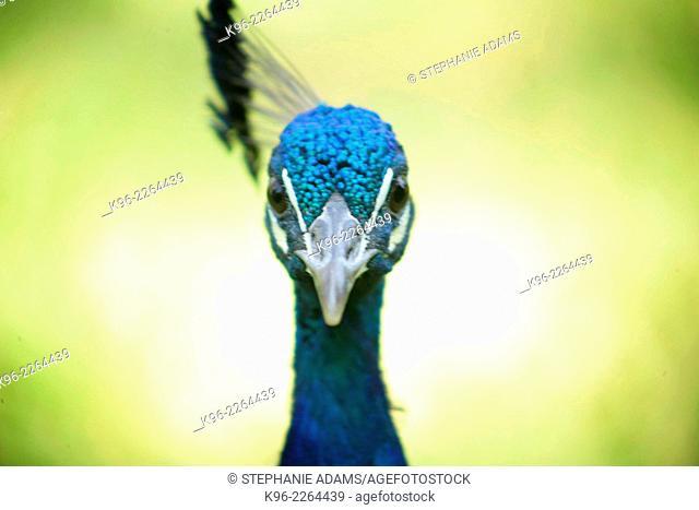 blue peacock looking at camera